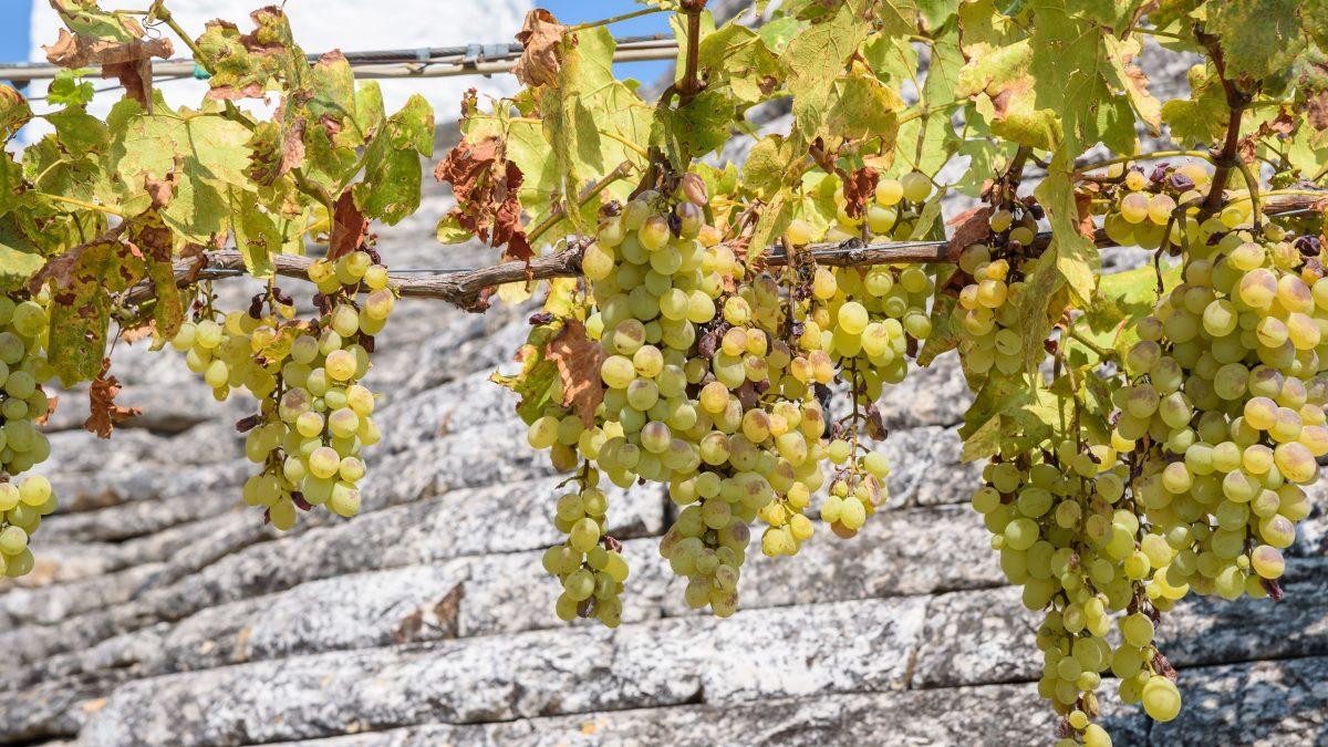 white vines with grapes PTAVQ